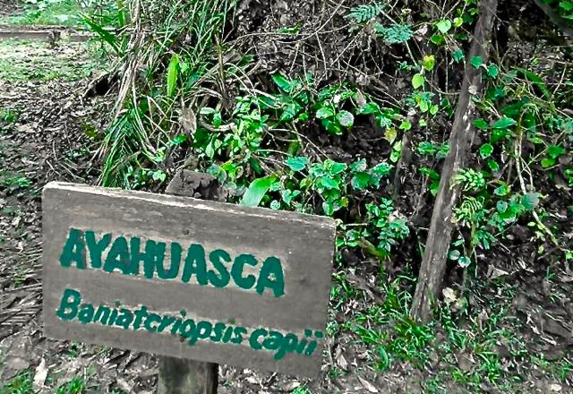 single dose of ayahuasca brew ayahuasca-assisted therapy for addiction immunological effects of ayahuasca