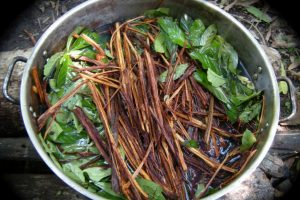 ayahuasca effects psychoactive drugs banisteriopsis caapi and psychotria